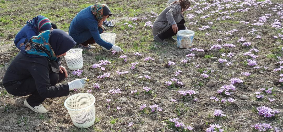 Saffron crop 2015 Saffron Expert