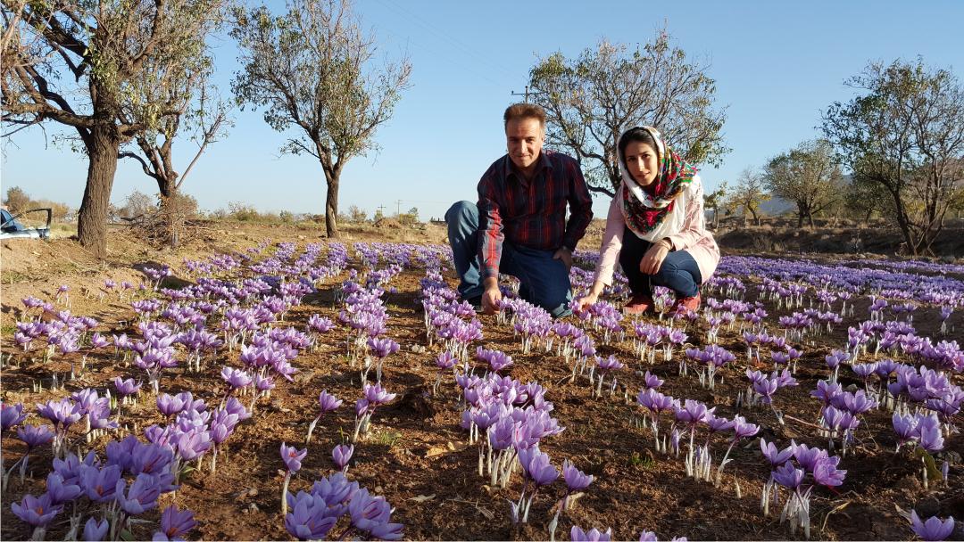 Saffron harvest 2015 Saffron Expert