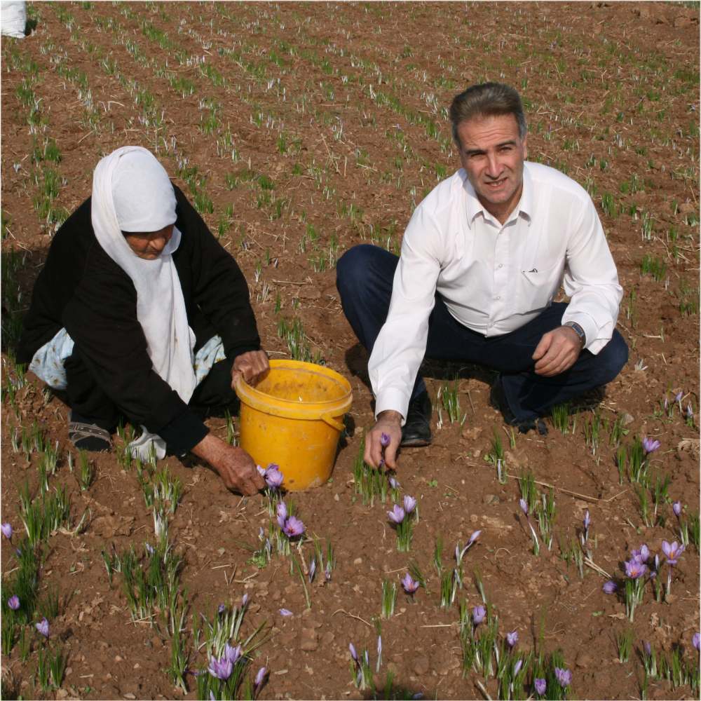 saffron expert takes care of every saffron harvest
