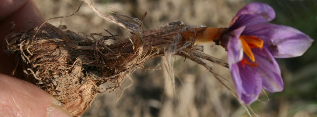 Die Safranzwiebel treibt erst im Herbst und überdauert den Rest des Jahres im Boden.