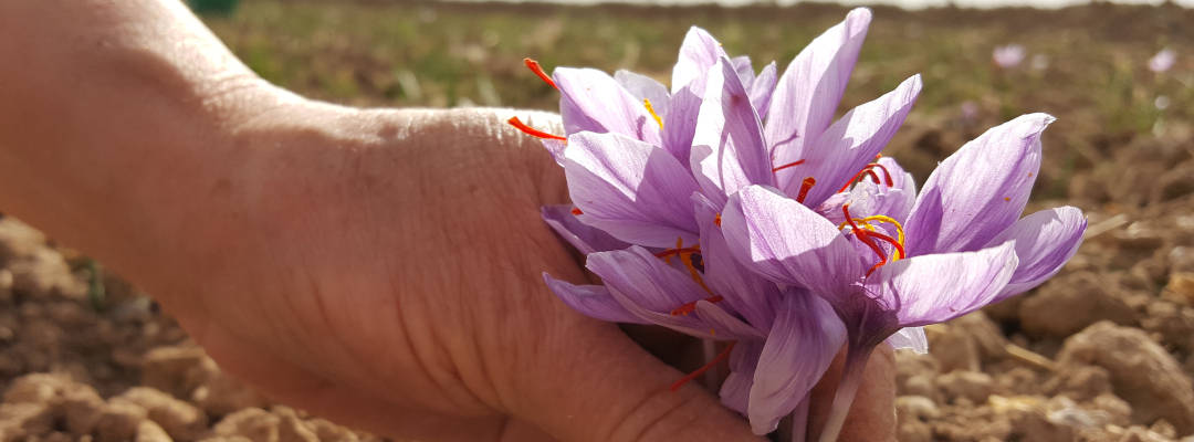The curative effect of saffron - What saffron really is!