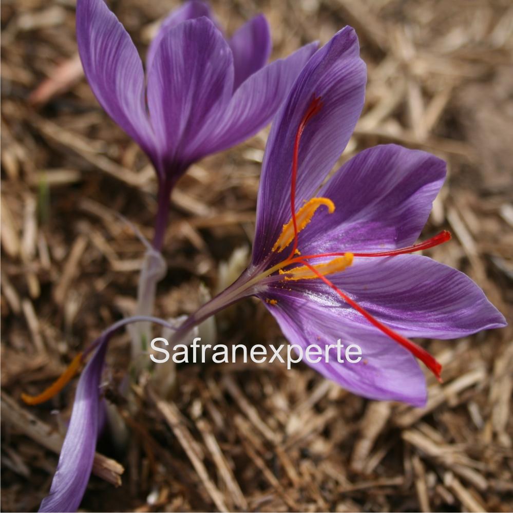 Echter Safran - Crocus sativus Saffron
