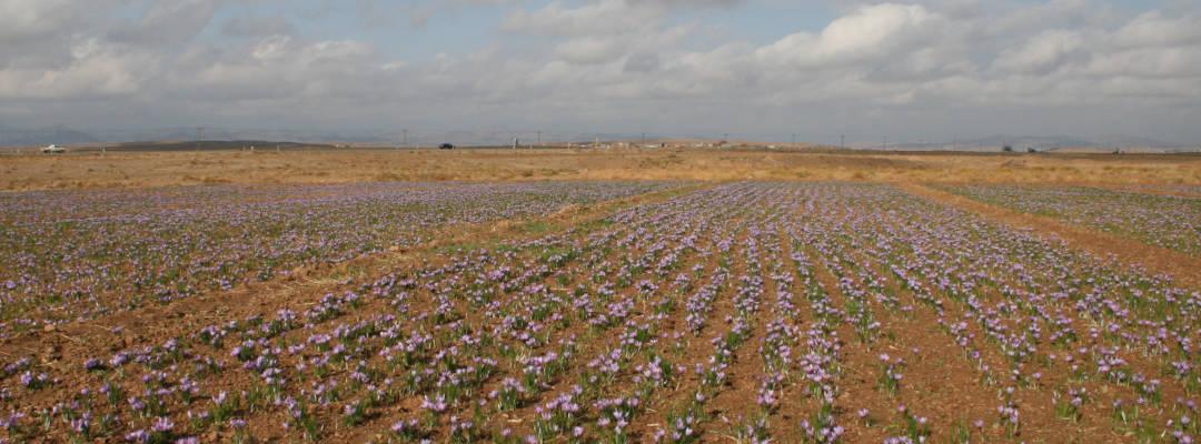 Die Verfahren vom Safrananbau in Iran